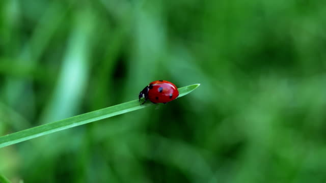 A red ladybird (Coccinella septempunctata) walking on a blade of grass. video