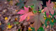 Red leaves in autumn at the park video