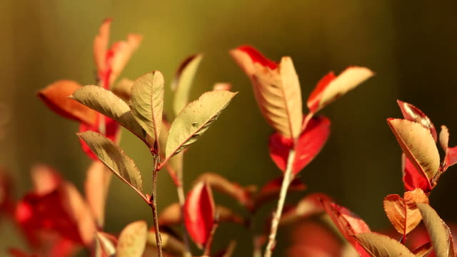 Red leaves on the twig. Autumn season. video