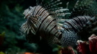 Red Lion Fish video