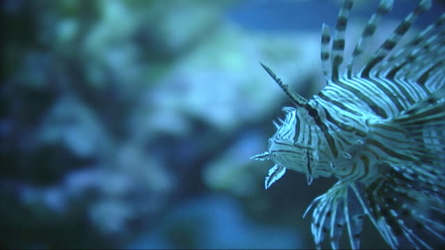 Red lionfish or scorpionfish - version A video
