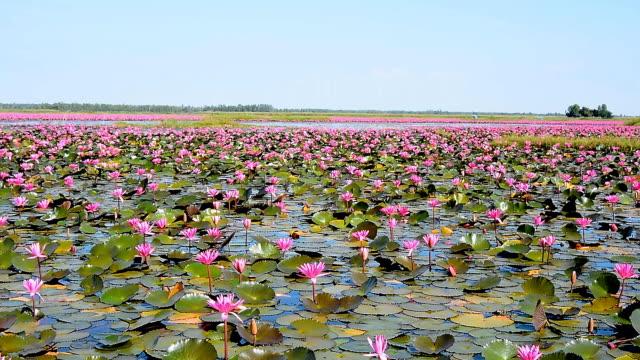Red lotus field video