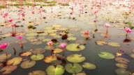Red Lotus Sea in Thailand video