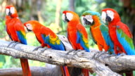 Red Macaws video