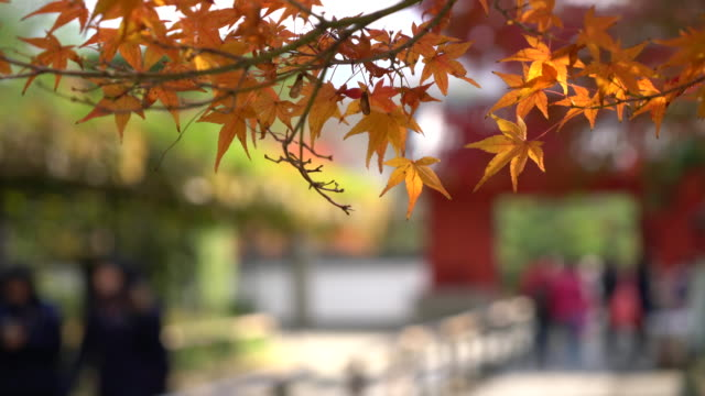 red maple in japan video