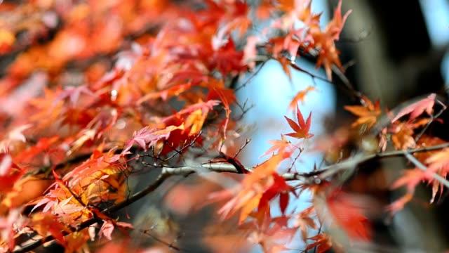red maple leaf in autumn season video