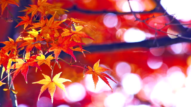 Red maple leaves video