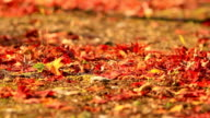 Red maple leaves. video