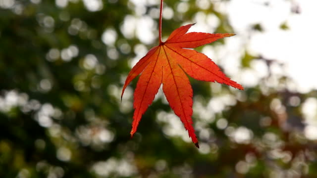 red maple leaves waving in bright sunlight video