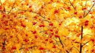 Red mountain ash on a background of yellow foliage. Autumn. Dolly shot. video