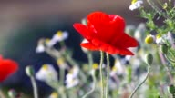 red opium poppy flower blown by wind video