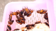 Red palm weevil ,a breeder video