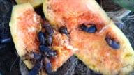 Red palm weevil video