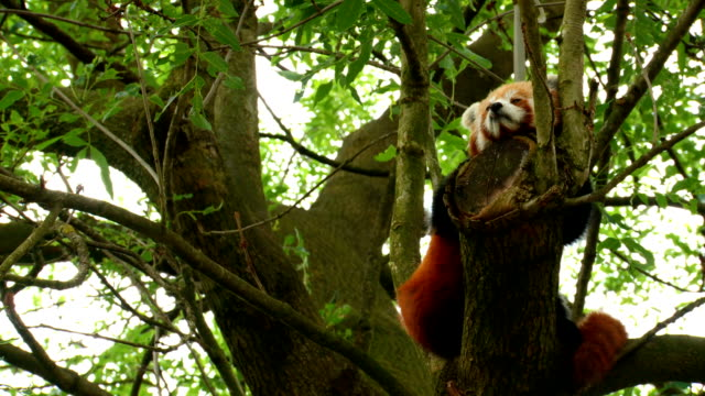 red panda video