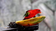 Red parrot video
