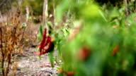 Red pepper video