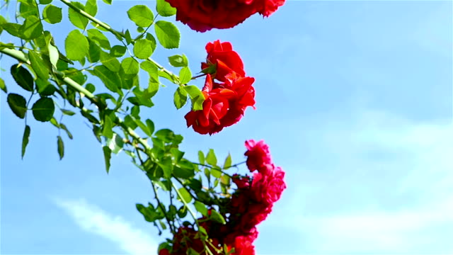 Red polyantha rose (Rosa multiflora) against blue sky video