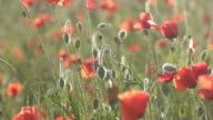 EDIT Red poppies field video