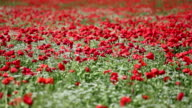 red poppies field video