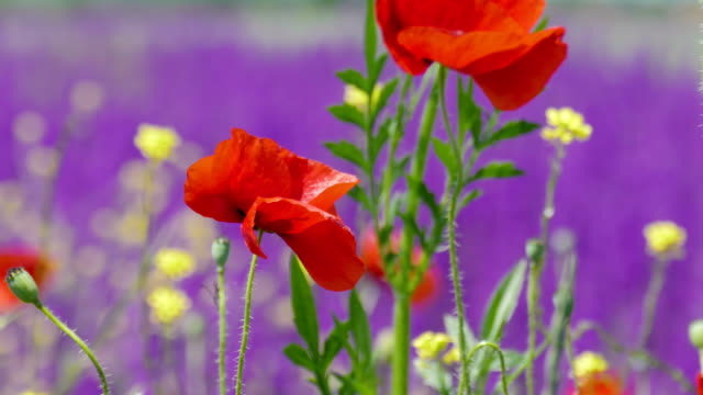 Red poppies on purple background video