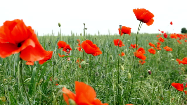 Red poppies on the field swaying in the wind video