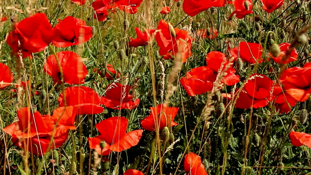 Red poppies swaying in field on sunny day video