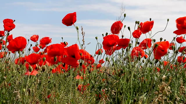 Red poppies swaying in field video