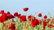 Red Poppies video