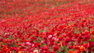 Red poppy field on a hill video