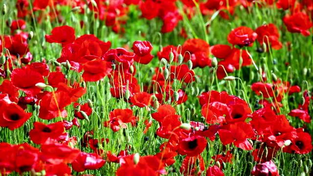 Red Poppy Field video