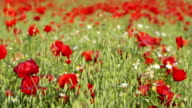Red Poppy Field video