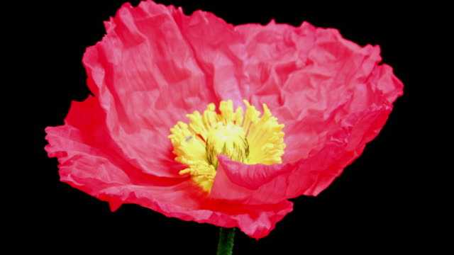 Red poppy flower blooming 4K video