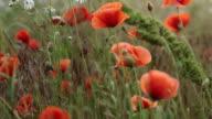 Red Poppy flowers video