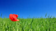 Red poppy video