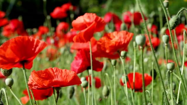Red poppy video