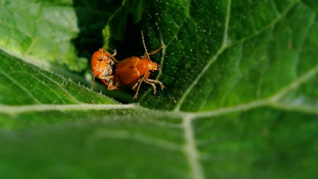 Red pumpkin beetle video