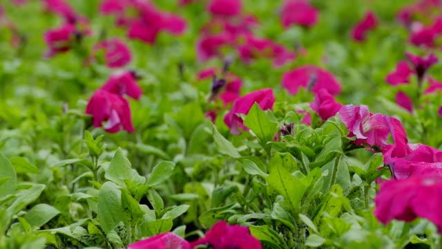 red purple flowers field video