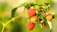 Red raspberry video