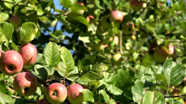 Red ripe apples and leaves on fruit tree twigs move in wind. video