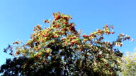 Red ripe rowan berries on a tree with green leaves. video