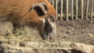 Red River Hogs video