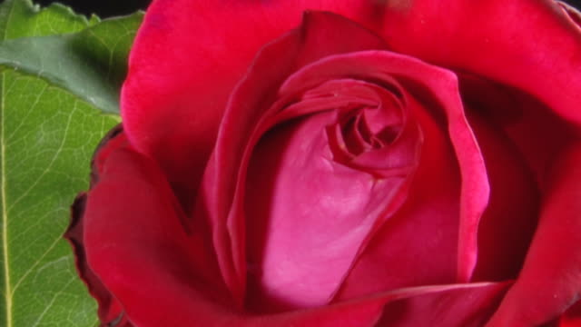 HD TIMELAPSE: Red Rose Blooming video