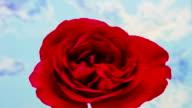 Red rose flower growing timelapse video