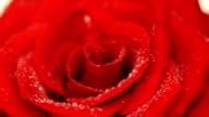 Red Rose flower video