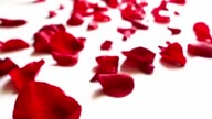 Red rose petals  on white background video