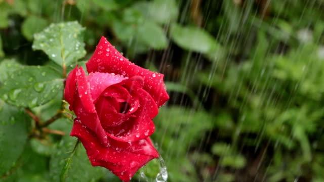 Red rose. Rain falling on rose. video