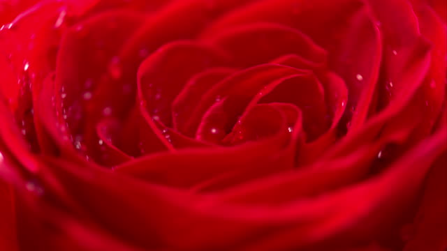 Red Rose CU rotating with black background video