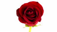 Red Rose Time Lapse video