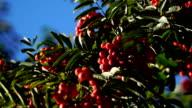 Red rowan berries in early autumn. video