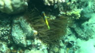 red sea anemonefish dahab video